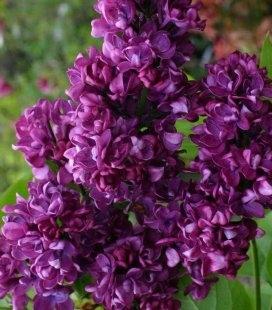 Syringa vulgaris 'Charles Joly', Сирень обыкновенная 'Шарль Жоли'