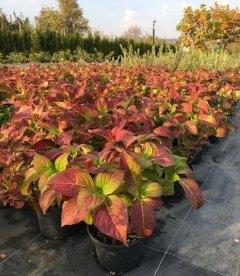 Гортензия крупнолистная осенние листья