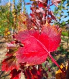 Листя Клена червоний 'Брендівайн' в Осени.