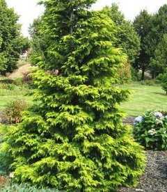 Chamaecyparis lawsoniana 'Golden Wonder', Кипарисовик Лавсона 'Голден Вондер'