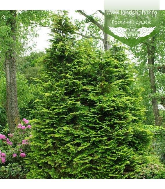 Chamaecyparis lawsoniana 'Golden Wonder', Кипарисовик Лавсона 'Голден Вондер'