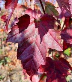 Листья Клена 'Сан Вэлли', Осенью.