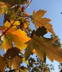 Листья Клена Фримана 'Сиенна Глен', Осенью.