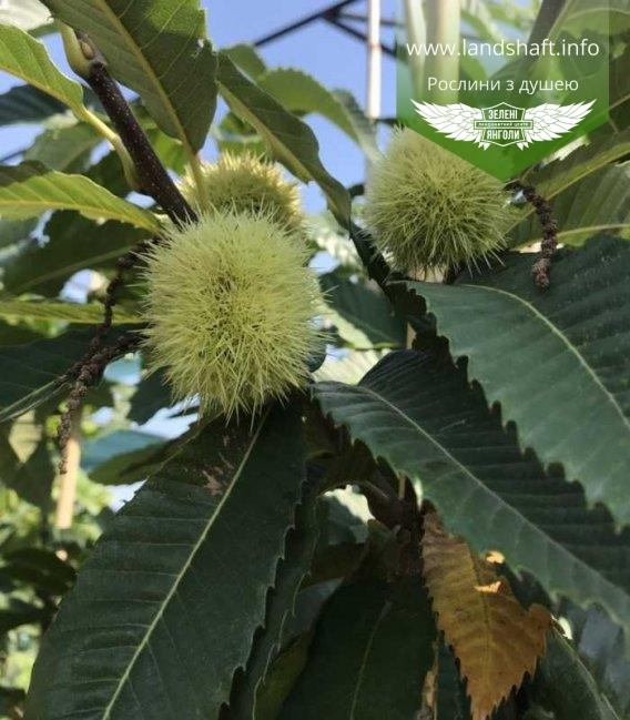 Плоди Каштану їстівного, Castanea sativa з росадника Зелені Яногли.