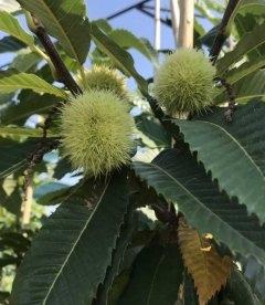 Плоды, Каштана съедобного, Castanea sativa, с питомника.