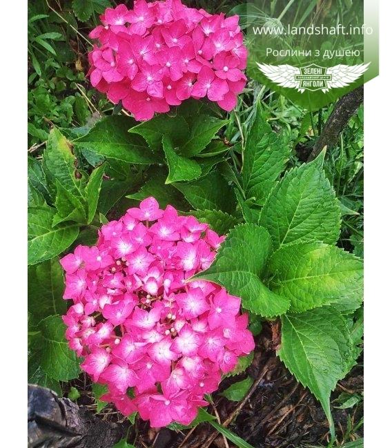 Гортензия крупнолистная, с розовым цветком.