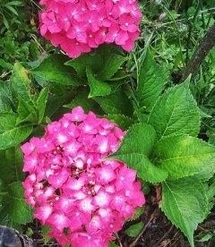 Гортензія крупнолиста, з рожевою квіткою.