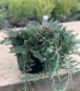 Juniperus horizontalis 'Wiltonii', Можжевельник горизонтальный 'Вилтони'