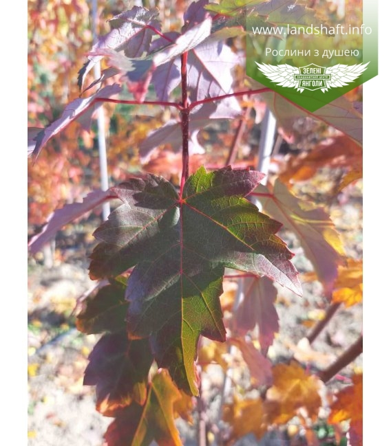 Листья Клена красного 'Бургунди Бэль', Осенью.