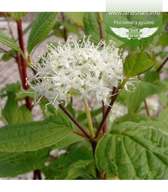 Cornus alba 'Sibirica', Дерен білий 'Сібіріка'
