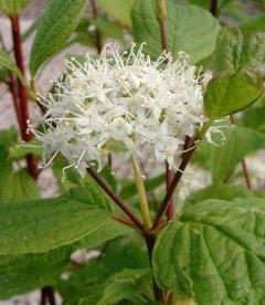 Cornus alba 'Sibirica', Дерен белый 'Сибирика'