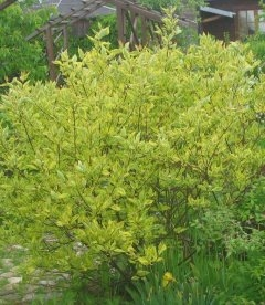 Cornus alba 'Spaethii', Дерен білий 'Шпеті'
