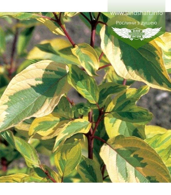 Cornus alba 'Spaethii', Дерен белый 'Шпэти'