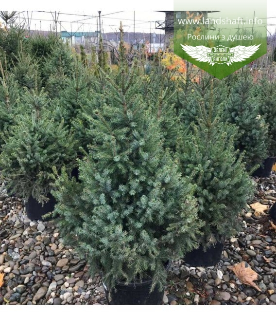 Picea omorika, Ялина сербська в с2