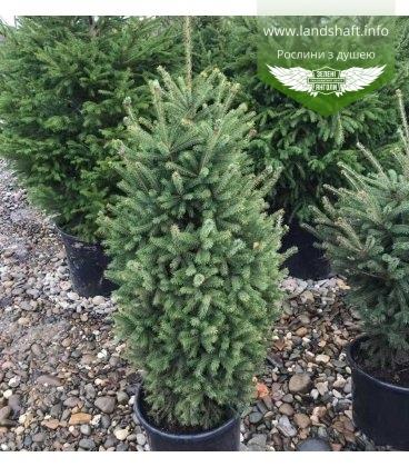 Picea glauca, Ялина канадська