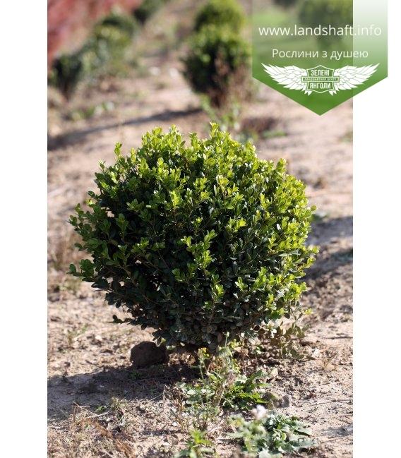 Buxus sempervirens, Самшит вічнозелений, з кореневим комом RB, H 20-30см.