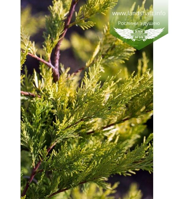 Купресоципарис Лейланда 'Голд Райдер', хвоя рослини.