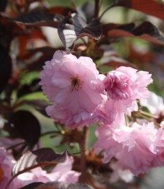 Prunus serrulata 'Royal Burgundy', Сакура 'Роял Бургунди'