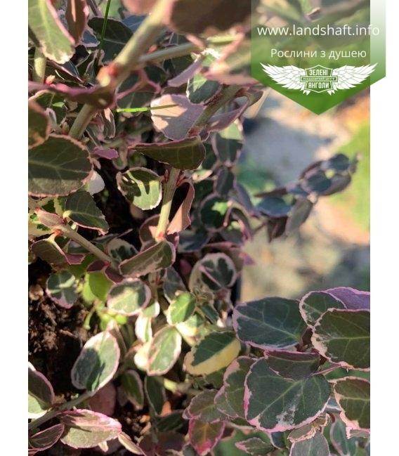 Бересклет Форчуна 'Сілвер Квін', листя рослини.