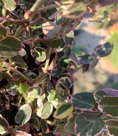 Бересклет Форчуна, листья растения.