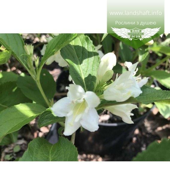 Цвітіння вейгели 'Кандіда'
