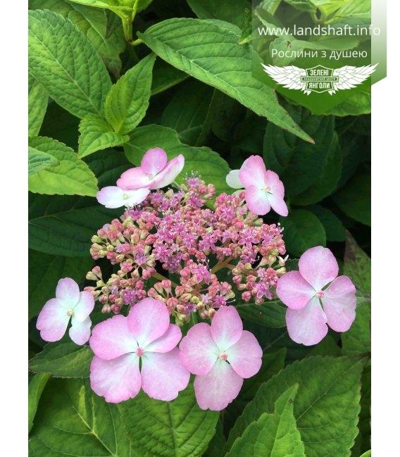 Квітка гортензії пильчатої 'Блубьорд'