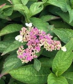 Цветок гортензии 'Блюберд'