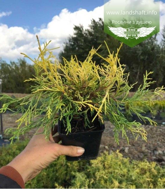 Кипарисовик горохоплідний 'Філіфера Ауреа' в горщику p9