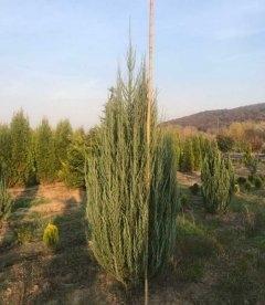 Juniperus scopulorum 'Blue Arrow', Можжевельник скальный 'Блу Ароу'