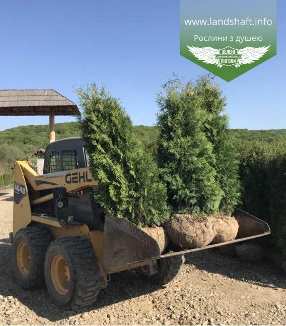 Туя західна 'Колумна' з кореневим комом 2 метри - доставка по Україні