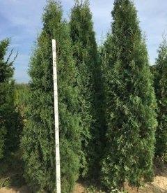 Купить Тую западную 'Колумна' высотой 2-2,5 метри оптом и в розницу