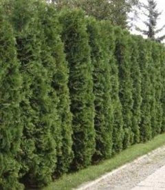 Живая изгородь из туи западной 'Колумна' - зеленый забор