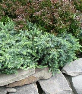 Juniperus conferta 'Schlager', Можжевельник прибрежный 'Шлягер'