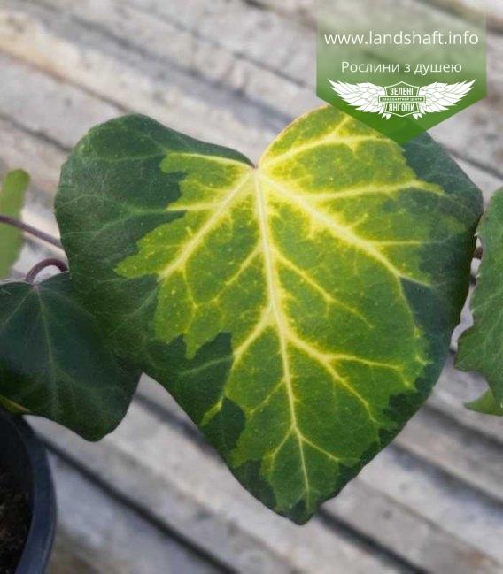 Плющ колхидский, листья растения.