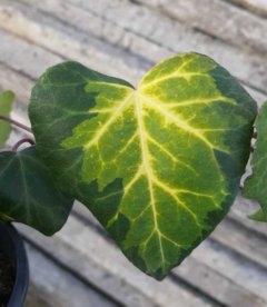 Плющ колхідський 'Сулфур Харт', листя рослини.