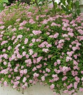 Spiraea japonica 'Little Princess', Спирея японская 'Литл Принцесс'