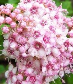 Спірея японська 'Літл Прінцес' квітне