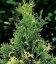 Thuja occidentalis 'Spotty Smaragd', Туя западная 'Спотти Смарагд'