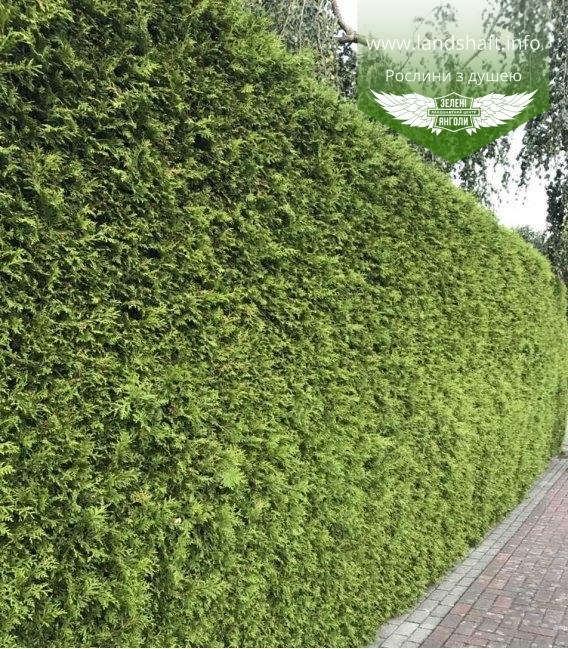 Живая изгородь из Туи западной Брабант - зеленый забор