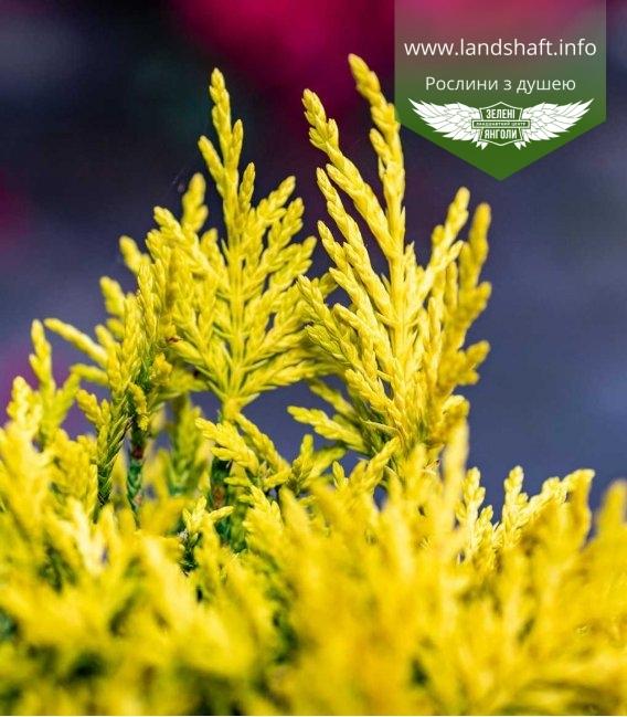 Яскраво-жовтий купресоципарис Лейланда 'Голд Райдер'