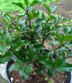 Ilex aquifolium, Падуб гостролистий