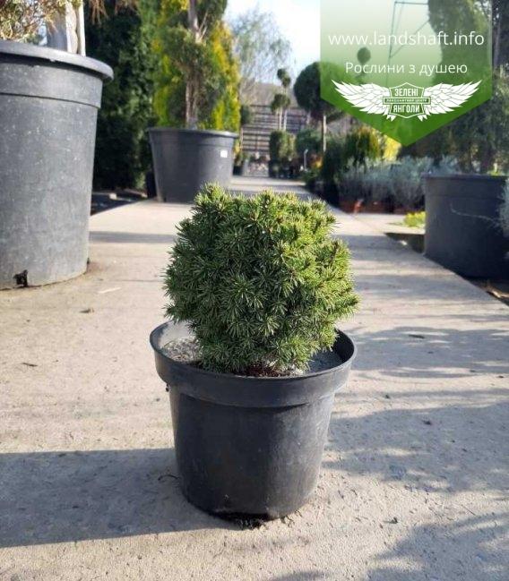 Picea glauca 'Alberta Globe' Ель канадская, шаровидная
