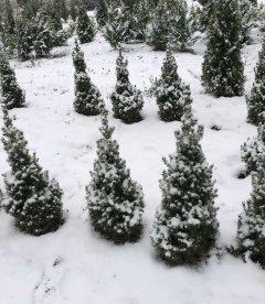 Picea glauca 'Conica' Ель канадская, для дома.
