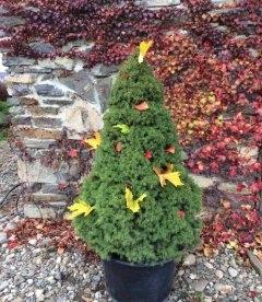 Picea glauca 'Conica' Ель канадская, купить с доставкой по Украине.