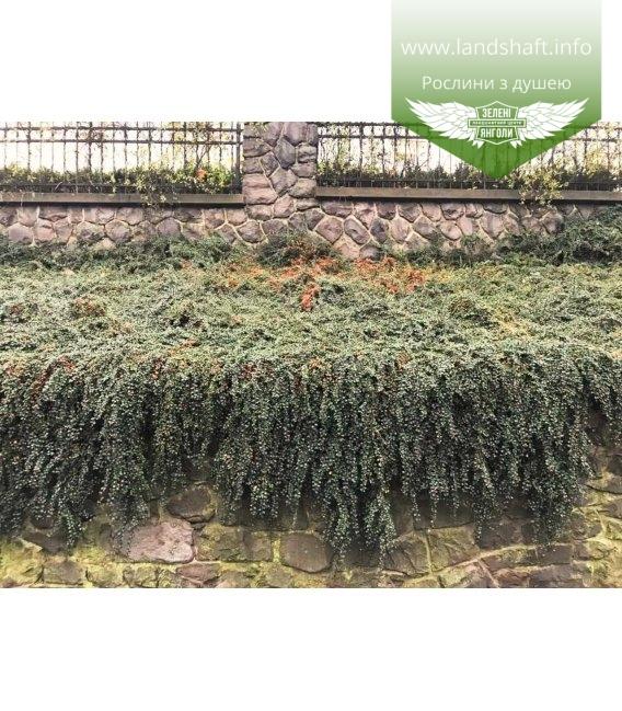 Cotoneaster dammeri Кизильник Даммера, в дизайне в саду.