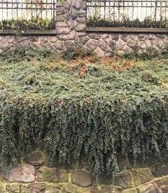 Cotoneaster dammeri, Кизильник Даммера, в дизайні для саду.