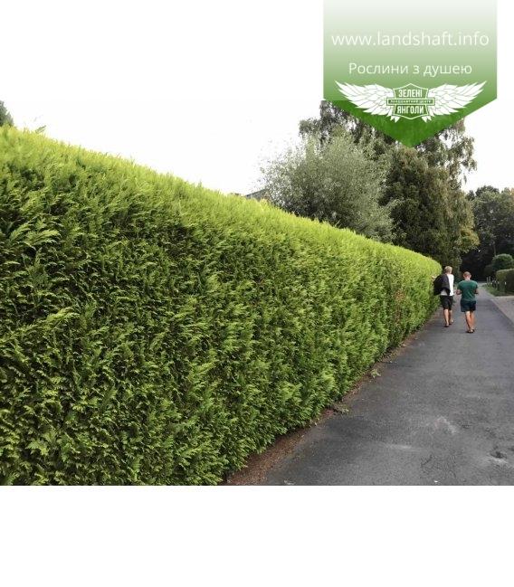 Яскравий живопліт із Кипарисовика Лавсона 'Стардаст' - зелена огорожа