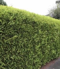 Яркая живая изгородь из Кипарисовик Лавсона стардаст - зеленый забор