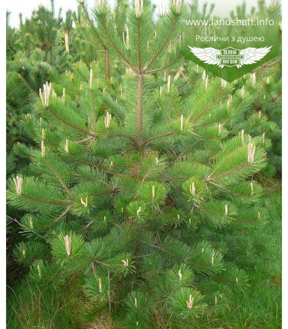Pinus nigra, Сосна чорна європейська