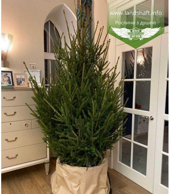 Ялина європейська - новорічне дерево з доставкою по Україні